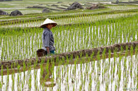 FILE PHOTO: An ethnic Thai farmer works on her terraced rice field in Pu Luong, Vietnam February 29, 2020. REUTERS/Kham/File…