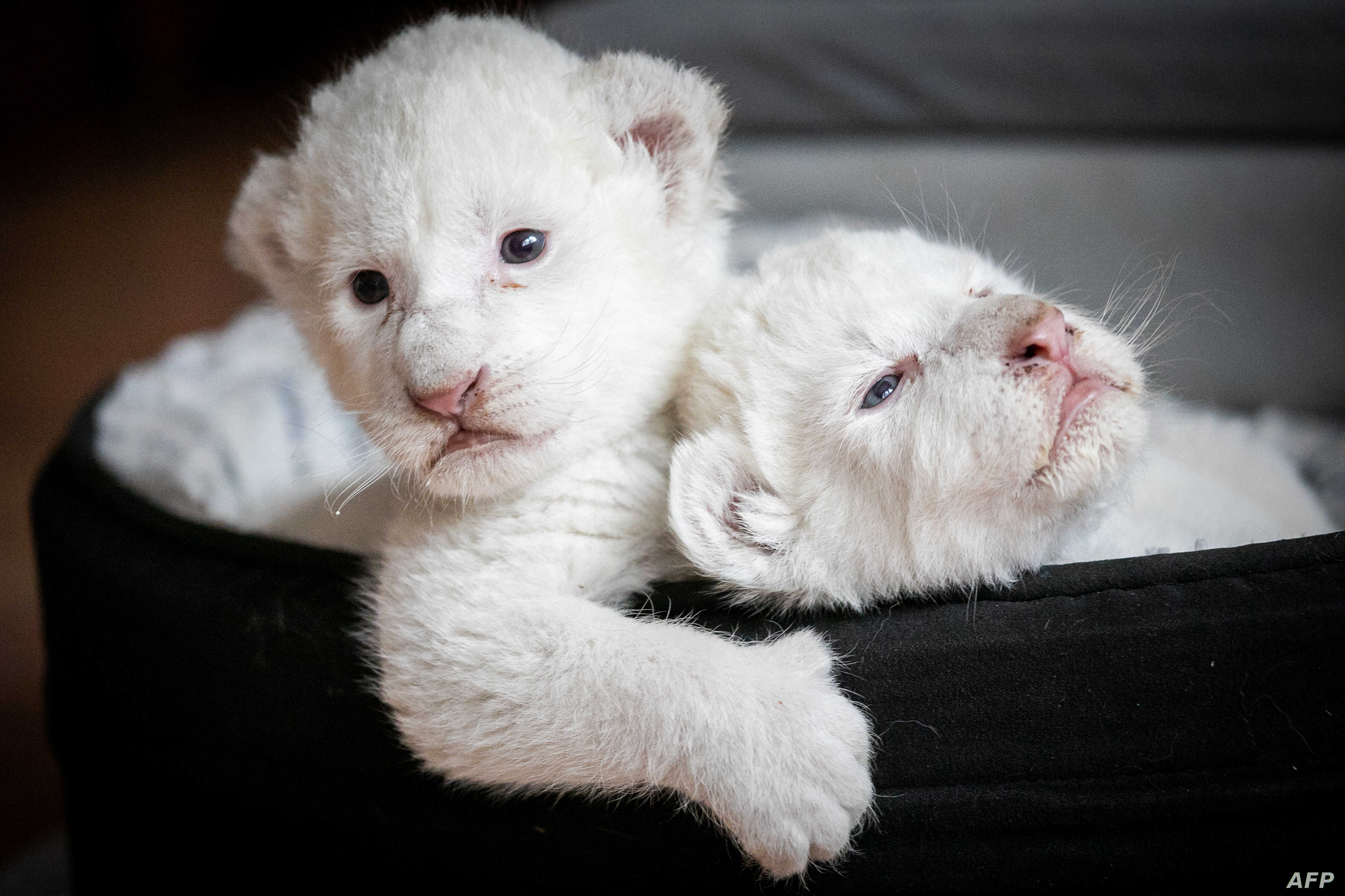 """Two white lion cubs, named Nala and Simba, lay in their basket at the association """"Caresse de tigre"""", at La Mailleraye-sur-Seine, northwestern of France."""