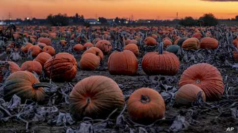 Hundreds of pumpkins lie on a field near Frankfurt, Germany, Oct. 16, 2019.