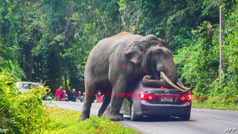 A wild elephant stops a car on a road at Khao Yai National Park in Thailand's Nakhon Ratchasima province.