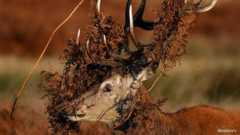 A deer is seen covered in bracken undergrowth as it prepares to clash with a rival during the rutting season in Richmond Park, west London.