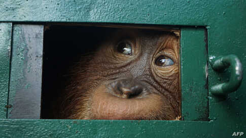 Orangutan Bon Bon looks out from inside a cage after arriving from Bali, at the Kualanamu airport in Deli Serdang in North Sumatra, Indonesia, Dec. 17, 2019.