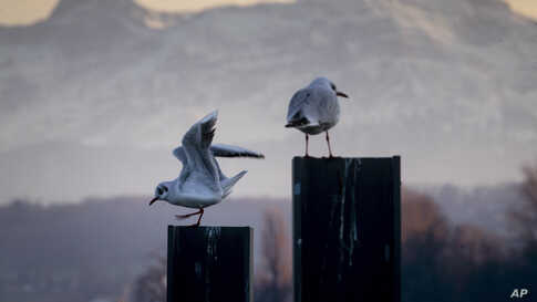 Two seagulls sit on poles with the Swiss Saentis mountain in background in the harbor of Constance, Germany.