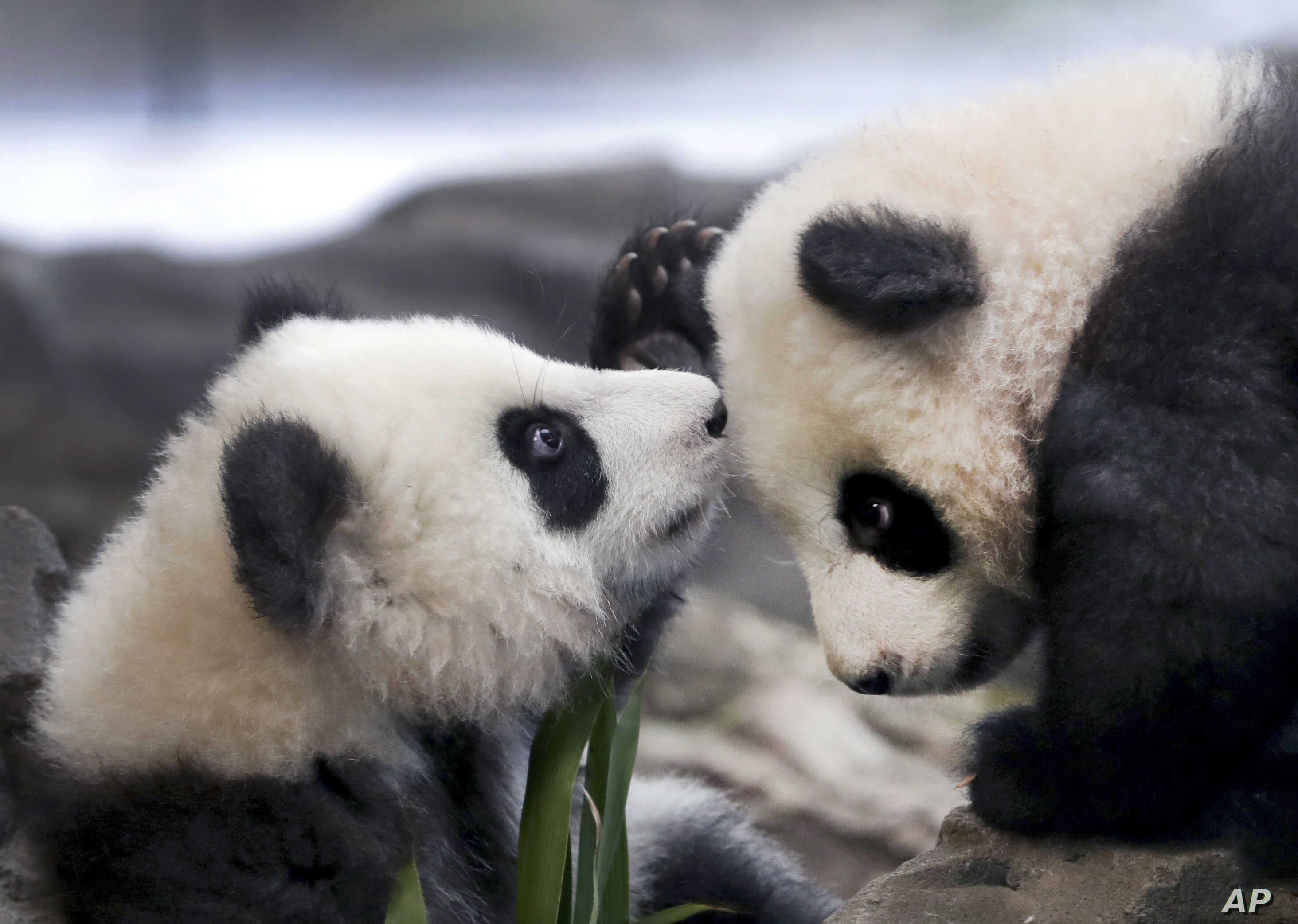 In this picture taken through a window, the young panda twins 'Meng Yuan' and 'Meng Xiang' explore their enclosure at the Berlin Zoo in Berlin, Germany.