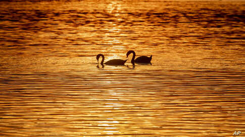 Swans glide over the lake of Constance, colored by the setting sun, near Constance, Germany.