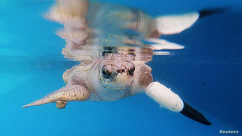 FemaleaFemale turtle named Goody tests out the first prosthetic flipper that will help other sea turtles injured from fishing gears to swim again, in Phuket, Thailand.turtle named Goody tests out the first prosthetic flipper that will help other sea turtles injured from fishing gears to…