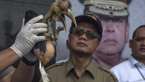 An Indonesian official displays a seized baby wreathed hornbill during a press conference in Surabaya, East Java.