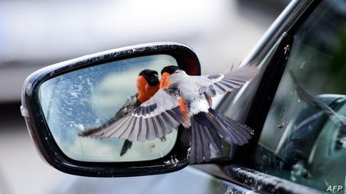 A bullfinch bird sees himself in the mirror of a car in Rheda-Wiedenbrueck on June 19, 2020. (Photo by Ina FASSBENDER / AFP)