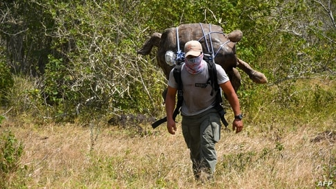 In this handout picture released by Parque Nacional Galapagos (Galapagos National Park) a park ranger moves Diego, a chelonidis hoodensis turtle, to the area called Las Tunas, 2.5 km off the coast of Espanola Island in the Galapagos archipelago, Ecuador.