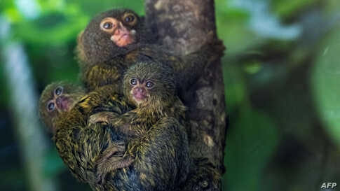 Pygmy marmoset cubs are pictured with their mother in their enclosure at the Mulhouse Zoo, eastern France.