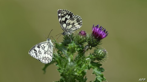 Butterflies sit on a thistle on a meadow near Freising, southern Germany.
