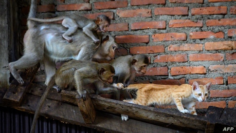 Longtail macaques pull the tail of a cat in an abandoned building in the town of Lopburi, some 155km north of Bangkok, Thailand.