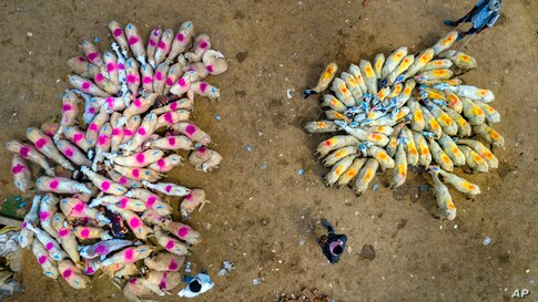 Flocks of sheep are brought to a market for sale on the outskirts of Fatehpur, India, June 27, 2020.