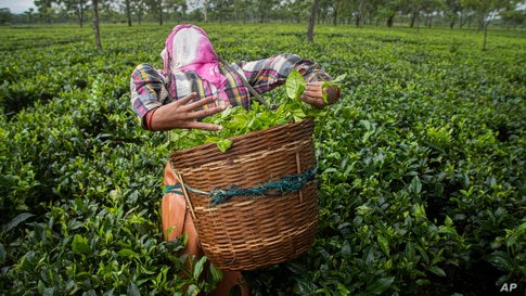 A worker plucks tea leaves at a tea garden in Biswanath Chariali district of eastern state of Assam, India, June 27, 2020.