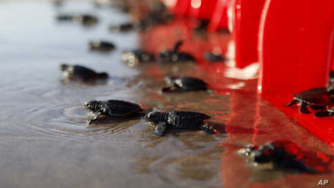 Baby turtles are released into the ocean in Bali, Indonesia. Roughly a hundred newly hatched Lekang turtles were released during a campaign to save the endangered sea turtles.