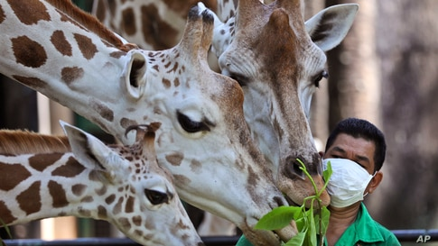A keeper feeds giraffes at Ragunan Zoo prior to its reopening this weekend in Jakarta, Indonesia.