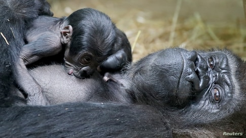 A new born baby Western lowland gorilla is seen with its mother Mambele at the Antwerp zoo in Antwerp, Belgium.