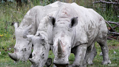 Rhinos are seen at the re-opened Zoo Zurich, as Switzerland continues to ease the lockdown measures during the COVID-19 outbreak, in Zurich, June 6, 2020.