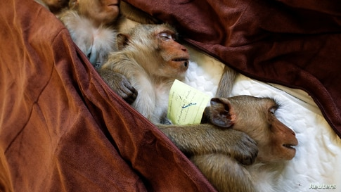 Monkeys are sedated as they recover after a sterilization procedure carried out by the Department of National Parks due to the increase of the macaques population in the urban area and the tourist spots of the city of Lopburi, Thailand, June 22, 2020.