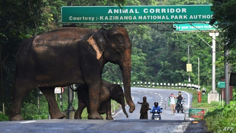 A a wild elephant and a calf cross the highway at the flood-affected Kaziranga National Park in India's northeast state of Assam.