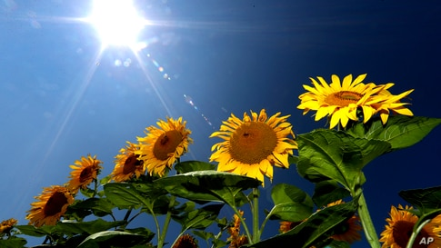 Sunflowers are seen in a field near Mamming, Germany.