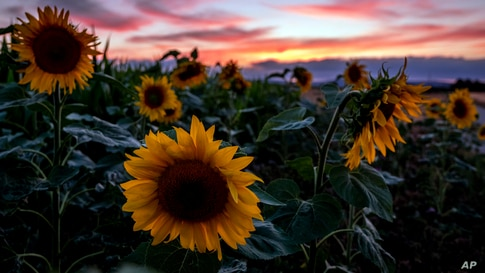 Sunflowers are seen in a field in Frankfurt, Germany, after the sun set, July 20, 2020.