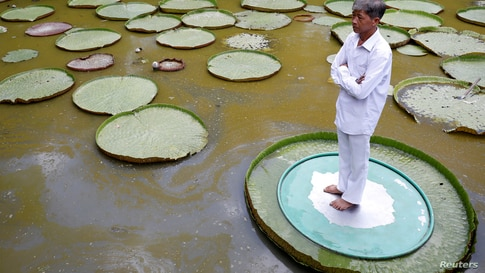 A man poses for a photo on a large lotus leaf in Dong Thap province, Vietnam.