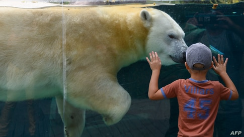 A young boy watches a polar bear at the Mulhouse zoo, eastern France, on august 28, 2020. (Photo by SEBASTIEN BOZON / AFP)