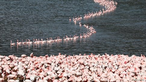 A flamboyance of flamingos crowds together in Lake Bogoria, in Baringo County, Kenya, August 26, 2020. REUTERS/Baz Ratner    …