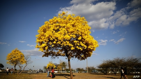 People walk by a yellow ipe or lapacho (Handroanthus serratifolius) in the central region of Brasilia, Brazil, Sept. 1, 2020.