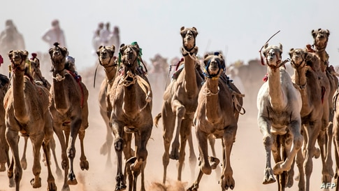 Camels run on a dirt track during a race in Egypt's South Sinai desert.