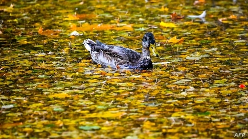 A duck swims in a pond during an autumn day in the town of Chekhov, some 70 km outside Moscow, Russia.