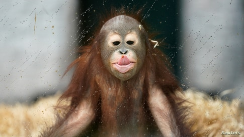 Ole, a young orangutan, plays in his enclosure at the Zoo on a rainy day in Kaliningrad, Russia.