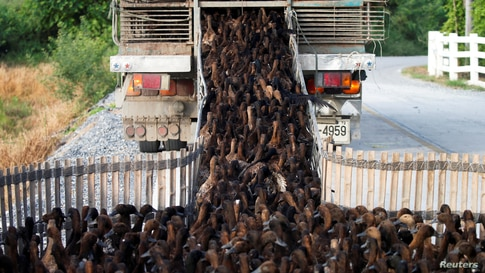 Ducks are loaded onto a truck to transport them to rice paddy fields to clear up weeds and pests after harvesting season in Nakhon Pathom, Thailand.