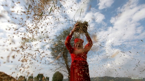 A farmer harvests rice at a field on World Food Day in Bhaktapur, Nepal October 16, 2020. REUTERS/Navesh Chitrakar     TPX…