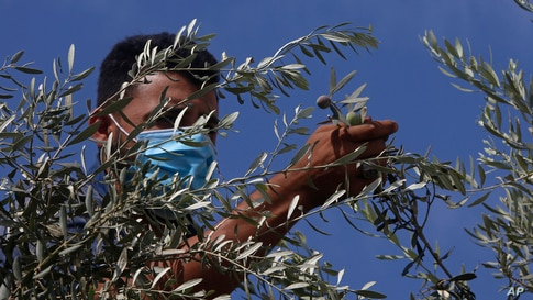 A Palestinian farmer harvests olives in Gaza City.