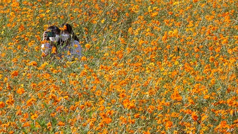 Women take a selfie in a field of cosmos flowers at the Olympic Park in Seoul, South Korea.