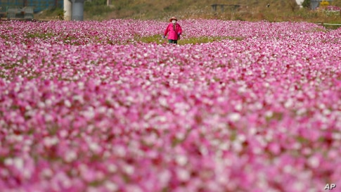 A visitor walks in a field of cosmos flowers in Paju, South Korea.