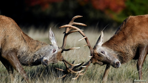 Male deer clash antlers during the annual rutting or breeding season, Richmond Park, London.