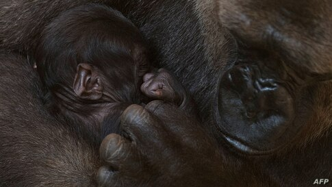 A gorilla called Buu holds its newborn baby gorilla at their enclosure at Bioparc in Fuengirola on November 13, 2020. (Photo by…