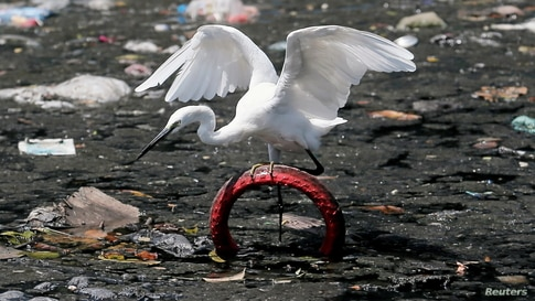 An Intermediate Egret tries to balance itself on a bicycle tire in a canal filled with garbage near a residential area in…