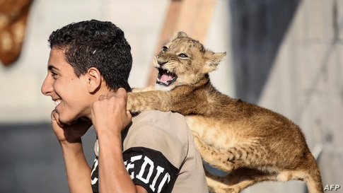 A Palestinian youth plays with a lion cub in Khan Yunis in the southern Gaza Strip.