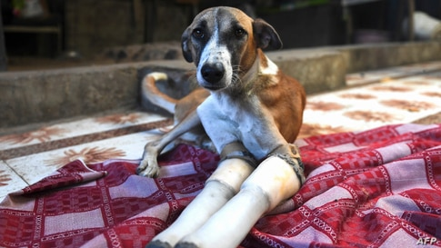 Rocky, a female dog who lost her front legs in a train accident, rests at the People For Animals Trust in Faridabad, India, Nov. 17, 2020.