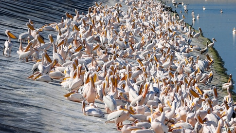 Great white pelicans are pictured at a reservoir in Mishmar HaSharon, north Israel's Mediterranean coastal city of Tel Aviv.