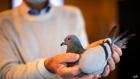 Carlo Gyselbrecht, co-owner of Pipa, a Belgian auction house for racing pigeons, shows a two-year old female pigeon named New Kim after an auction in Knesselare, Belgium.