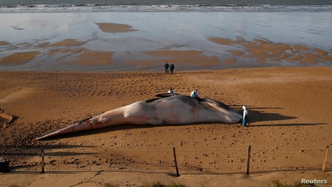Experts at the Observatoire Pelagis examine the dead body of a fin whale which was found stranded on a beach in Saint-Hilaire-de-Riez, France.