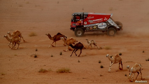 Mammoet Rallysport's Martin Van Den Brink and Co-Driver Wouter De Graaff surrounded by camels, compete during the Stage 10 of the Dakar Rally between Neom and Alula in Saudi Arabia.