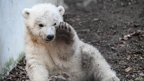 A polar bear cub named Kara, plays in its enclosure at the Zoological and Botanical park in Mulhouse, eastern France, on…