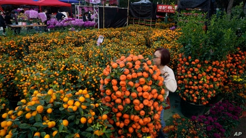 A woman takes a selfie with a citrus tree at the flower markets in Victoria Park of Hong Kong, Feb. 6, 2021.
