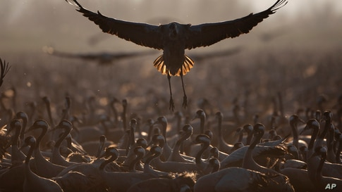 Migrating cranes flock at the Hula Lake conservation area, north of the Sea of Galilee, in northern Israel.